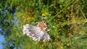 20180720_094457_Allium-oleraceum-1.jpg